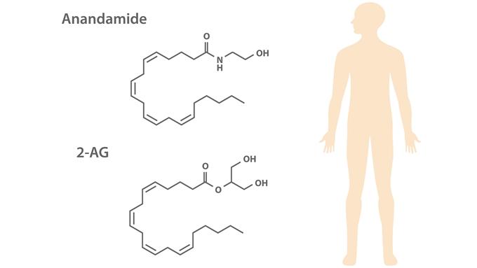 主な内因性カンナビノイド