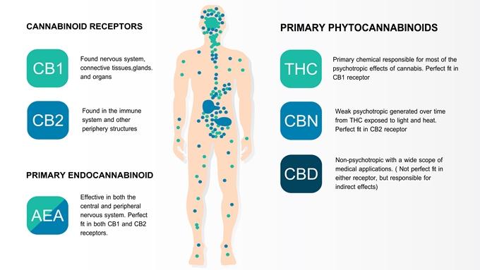 カンナビノイドと受容体の働き